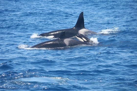 Familia de orcas en el Estrecho de Gibraltar.