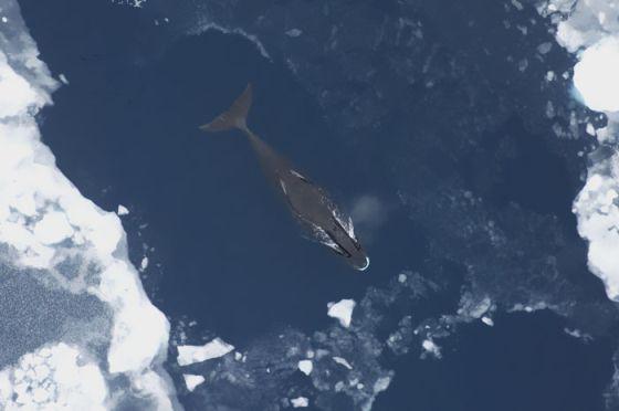 Ballena de Groenlandia.