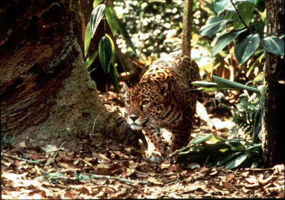 El jaguar amazónico es una de las especies que se pretenden clonar.