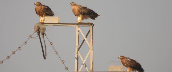Tres ejemplares de águila imperial en un poste eléctrico. CSIC