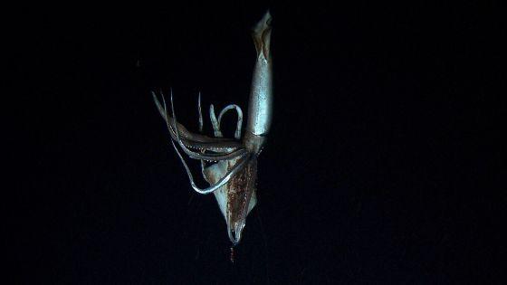 Fotograma del vídeo del calamar gigante grabado por CHK y Discovery.