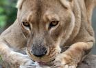 África se queda sin leones