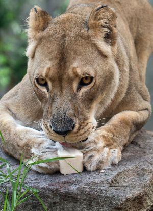 Una joven leona en África