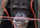 El Gobierno prohibirá la investigación con grandes simios