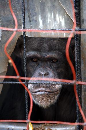 Un chimpancé en el centro de recuperación de primates Rainfer.