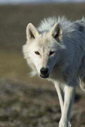 Un lobo en el Ártico.