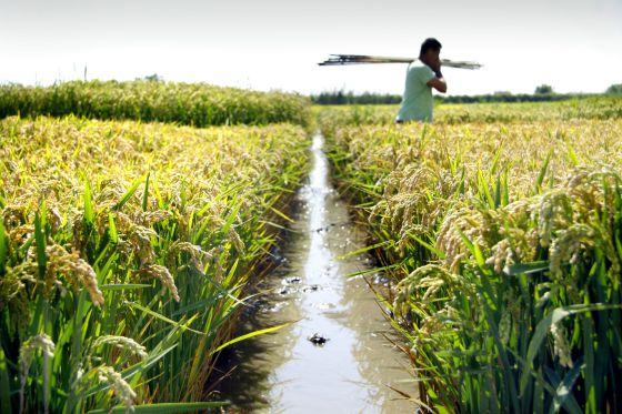 Campo de arroz del Instituto Valenciano de Investigaciones Agrarias (IVIA) en la Albufera de Valencia.  tania castro