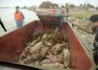 Hallados 6.000 cerdos muertos en el principal río de Shanghai
