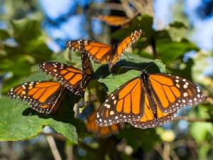 Algunos ejemplares de monarca.