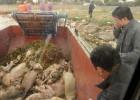 China estudia la muerte de cientos de cerdos y perros en un pueblo