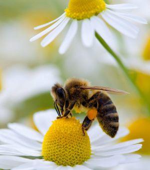El caso de las abejas desaparecidas. 1367265315_648693_1367266047_noticia_normal