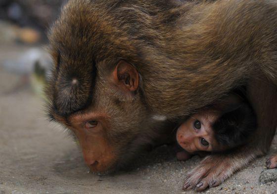 Macacos en un barrio de Kuala Lumpur.