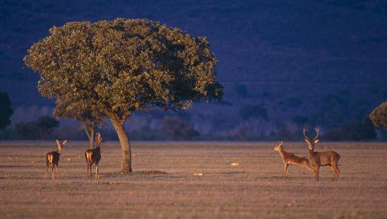 Ciervos rojos en el Parque Nacional de Cabañeros (Ciudad Real).