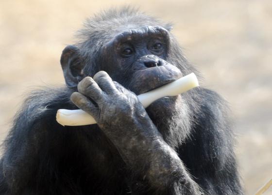 """EE UU reducirá """"sustancialmente"""" el uso de chimpancés en la investigación médica"""