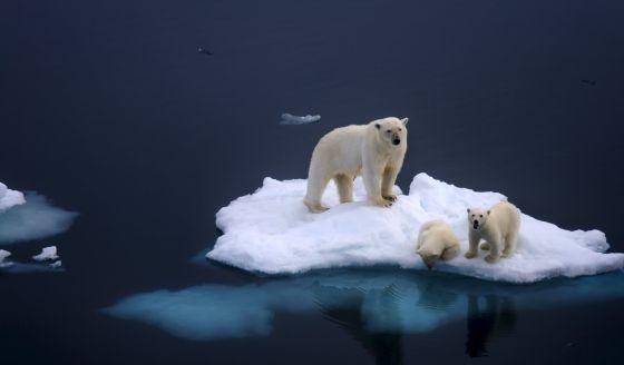Una familia de osos polares atrapada en un iceberg por el deshielo.