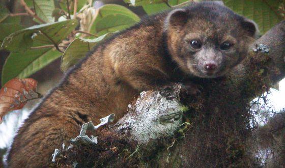 Un ejemplar de olinguito, el último animal descubierto en América.