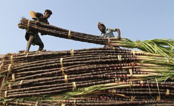 Una de las pruebas se hizo a cultivadores de caña indios.