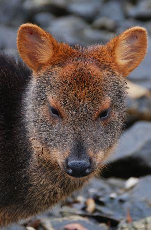 El pudú es el cérvido más pequeño del mundo.