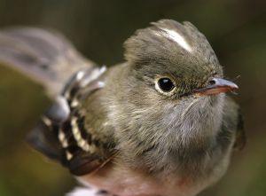 Los investigadores capturaron 91 ejemplares, la mayoría de la especie 'Elaenia albiceps'.