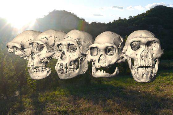 Los cinco cráneos humanos primitivos de Dmanisi (Georgia), del 1 al 5 (de izquierda a derecha).
