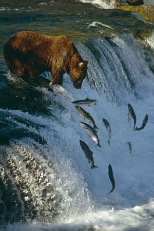 Un oso espera que los salmones caigan en sus garras, en Alaska.