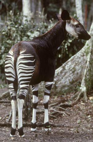 Un okapi en el Ituri Forest, en la República Democrática del Congo.