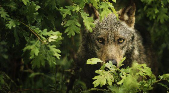 Castilla y León concentra el 60% de los ejemplares de lobo en España.