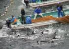 250 delfines capturados en Japón