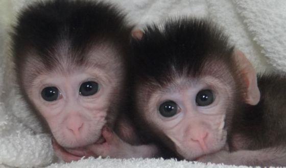 Creados los primeros monos transgénicos 'a medida'