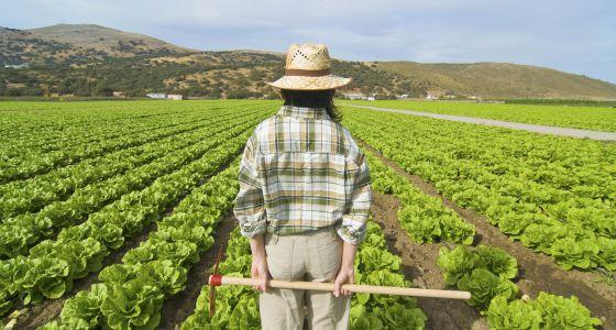 Una agricultora observa una gran plantación de lechugas.