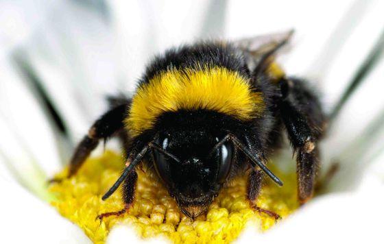 Un abejorro.