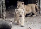 El zoo de Copenhague sacrifica a cuatro leones