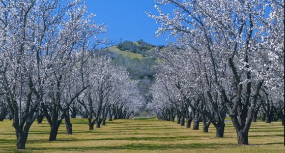 Almendros en California.
