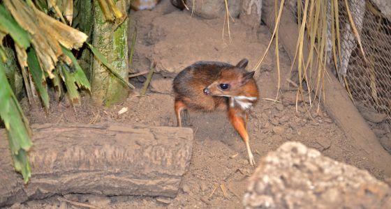 Cría de ciervo-ratón en Bioparc Fuengirola.