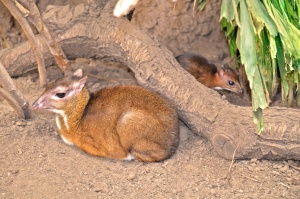 Madre y cría de ciervo-ratón en Bioparc Fuengirola.
