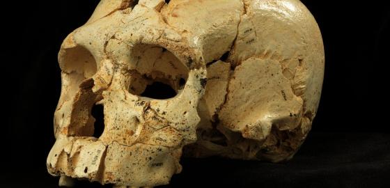 Cráneo número 17 de la Sima de los Huesos (Atapuerca).