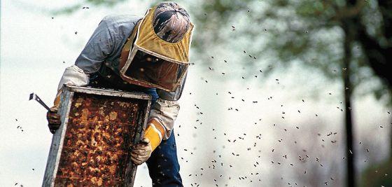 Un apicultor manipula un panel con miel de una colmena de abejas.