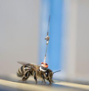El errático vuelo de las abejas