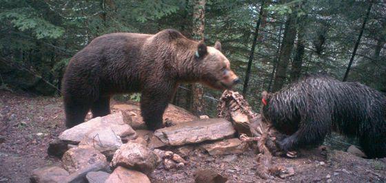 El oso 'Pyros' (izquierda) y la osa 'Hvala'.