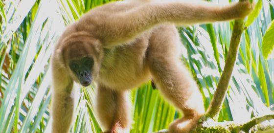 El mono araña (Brachyteles aracnoides) de Brasil está en riesgo de desaparecer.