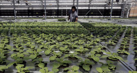 Los representantes del sector del cultivo del tabaco contemplan con esperanza cualquier uso alternativo de la planta.