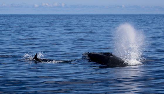 La ballena azul avistada en Canarias el pasado fin de semana.