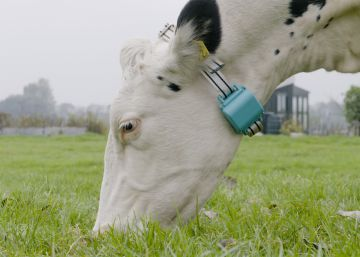 El 'wearable' que produce más leche de vaca