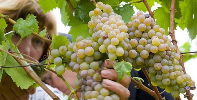 Una agricultora recoge uvas en la comarca del Ribeiro (Orense)