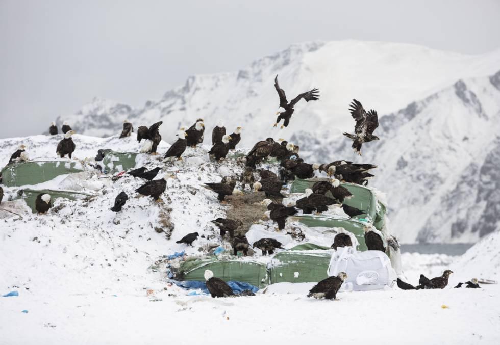 As águias-de-cabeça-branca que colonizaram o vilarejo de Dutch Harbor, em uma pequena ilha do arquipélago das Aleutas (Alasca, EUA).