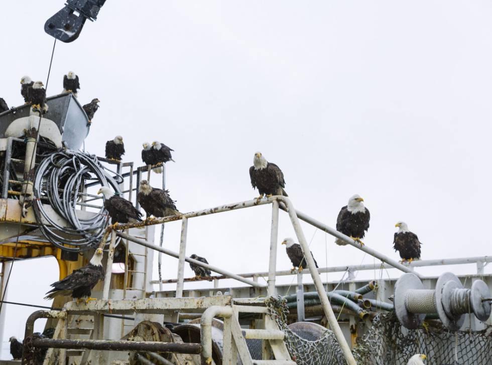 As águias que povoam Dutch Harbor e aterrorizam os moradores se lançam sobre cada barco que chega ao porto, onde disputam as iscas e os peixes.