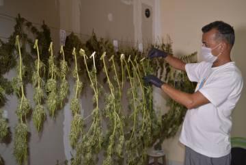 Cassiano Teixeira, diretor-executivo da Abrace, cuida de plantas na sala em que elas são postas para secar, depois de colhidas e antes da extração do óleo.