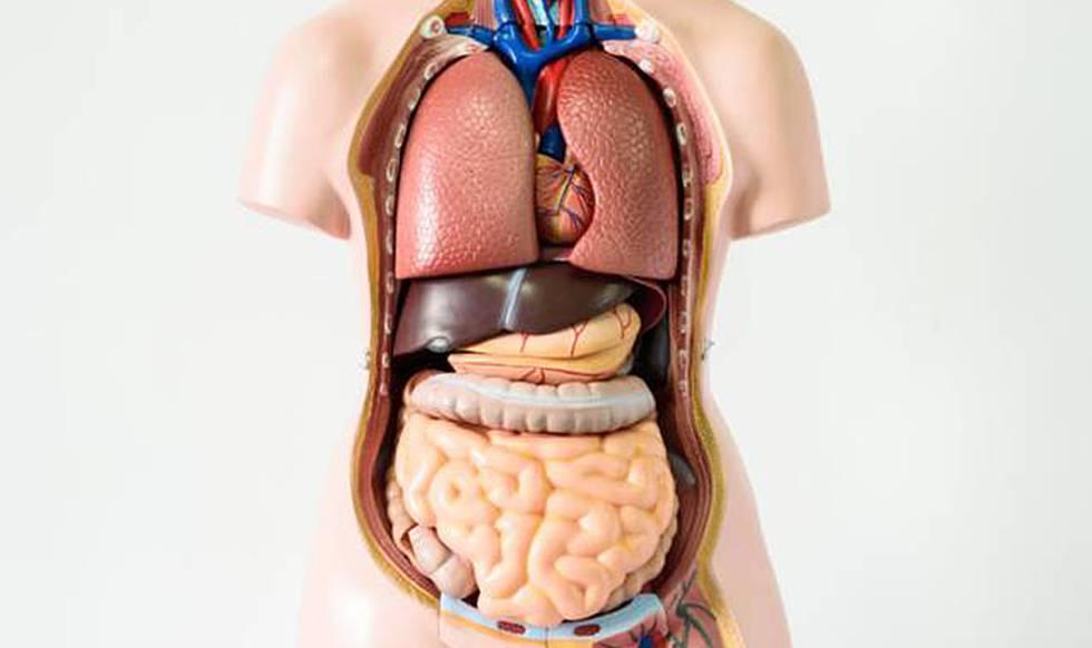 Sete órgãos sem os quais você pode viver