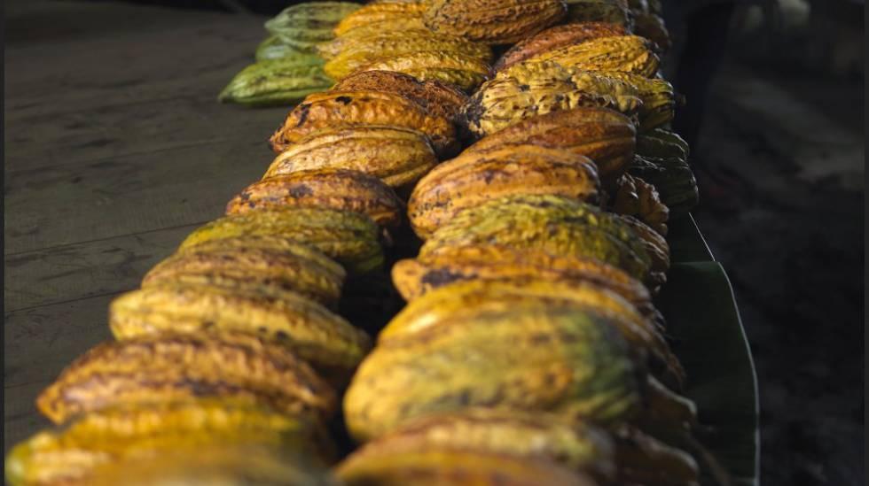 As frutas de cacau são adquiridas na costa equatoriana da Amazônia