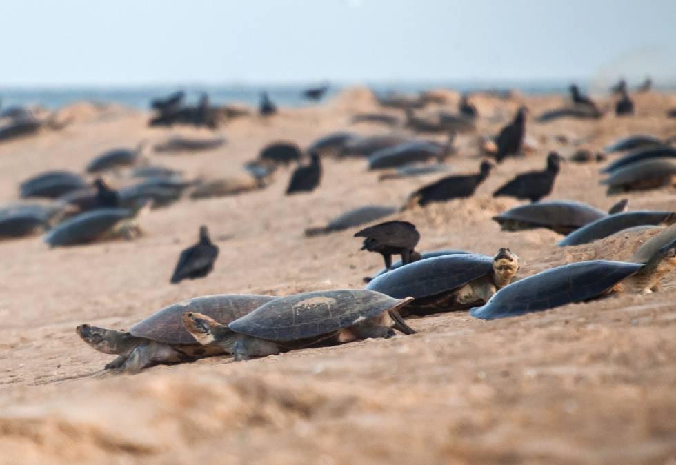 Tartarugas na época da desova, subindo e descendo a praia da Ilha do Juncal, em outubro de 2017